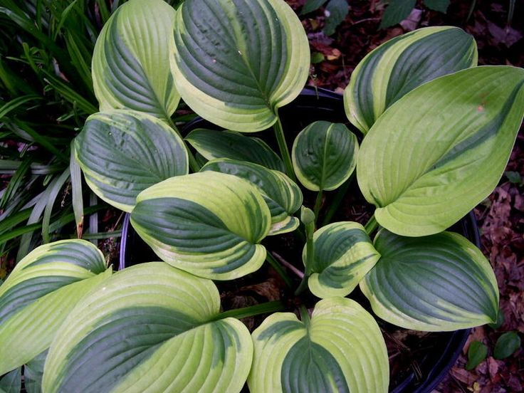 Unforgettable Hosta  - medium www.greenmountainhosta.com