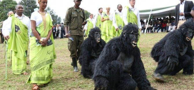 For Gorilla tours Rwanda, tourists can enjoy seeing endangered mountain gorillas and witness the renowned yearly baby gorilla naming ceremony-Kwita Izina