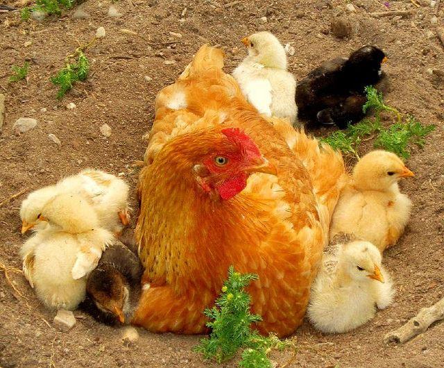 mama teaching chicks to bathe