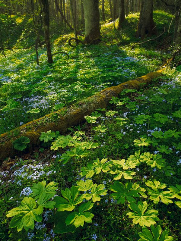 Phlox & Mayapple in the forest, early May