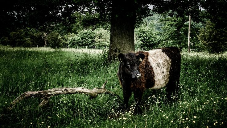 Galloway Cow - A Galloway Cow at Crickley Hill County Park
