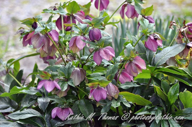 Helleborus, otherwise known as the Winter Rose.