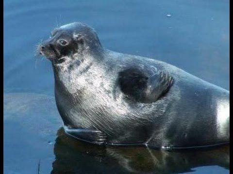 Ringed seal on lake Ladoga. Кольчатая нерпа на Ладожском озере - YouTube