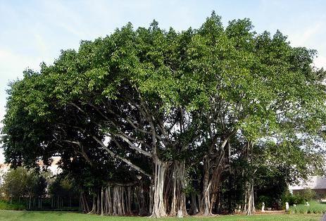Banyan Tree Bargad Health Information In 2019 Plants