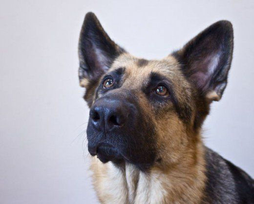 Does your German Shepherd puppy bite a lot? Looking for fun ways to train him to refine his biting skills and learn some inhibition?  These games will help, but  can virtually work for any type of pup