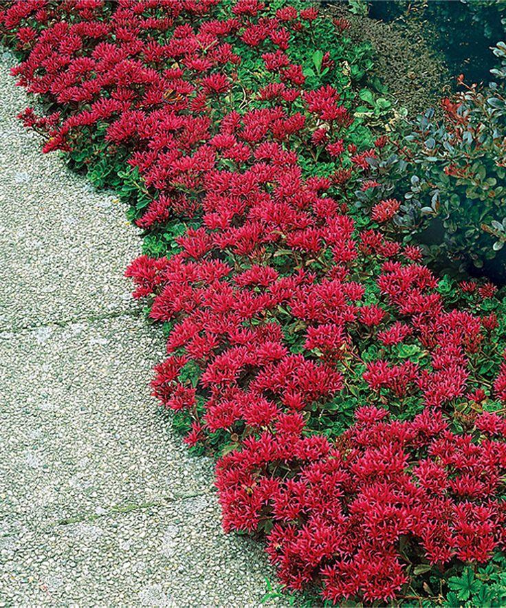 Flower Garden Ideas In Michigan 48 best flowers - sedum images on pinterest | garden plants