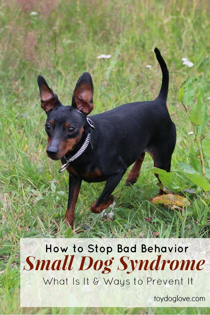 Small Dog Syndrome - What is it, what causes it and how to prevent it - ToyDogLove