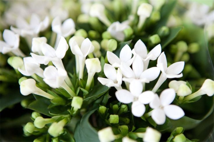 Bouvardia - 15 Flowers in Season in February for Wedding - EverAfterGuide