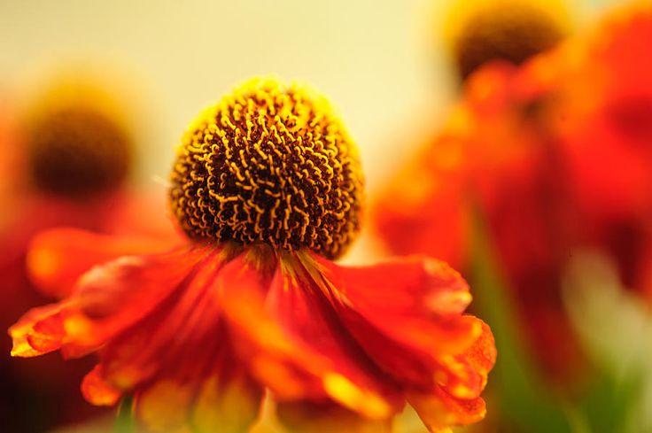 Orange Glow. Rudbeckia Macro by Jenny Rainbow