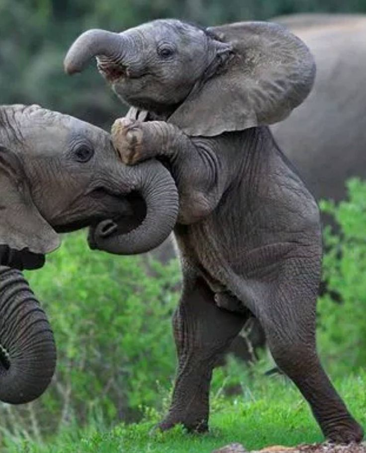 . Photography by @ (Jacques Matthysen). Elephant calf standing tall in Kariega Game Reserve in South Africa.