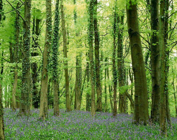 Bluebells, Cranham Wood