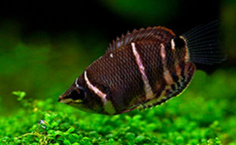 Çikolata Gurami Balığı (Sphaerichthys Osphromenoides)
