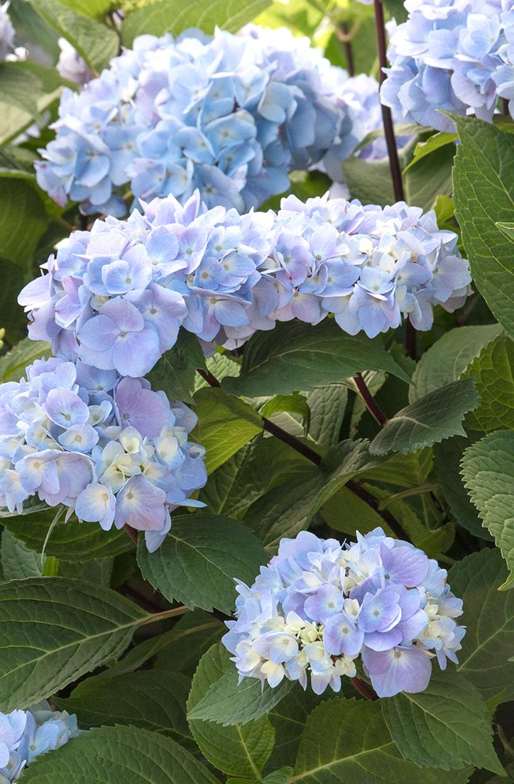 Blue Enchantress Hydrangea Repeat Summer Bloomer Large Mops Prized Also For Cream To Pink To Green Dried Heads Yummy Pa Hydrangea Not Blooming Dried Flower Arrangements Flowering Shrubs