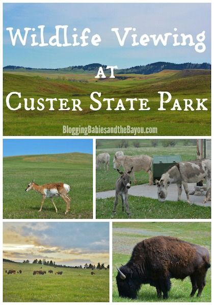 Visiting  South Dakota largest and first state park Wildlife viewing at Custer State Park BayouTravel