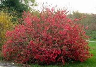 Japanese flowering quince (Chaenomeles japonica):  Flowering quince is an adaptable, easy to grow shrub that does best in full sun. Use it as a hedge or barrier plant or in a shrub border. Tall types can be used as specimens or can be espaliered to accent a wall or fence. Grows up to 10' tall in full sun. Zones 4-10