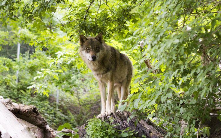Animales Lobo  Animales Predator (Animal) Mammal Wildlife Fondo de Pantalla