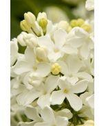 Angel White Lilac (Syringa vulgaris 'Angel White') - Monrovia - Angel White Lilac (Syringa vulgaris 'Angel White') - P-F sun, waterwise, white spring blooms; good foundation shrub for back of border; spreading, 12' x 10'