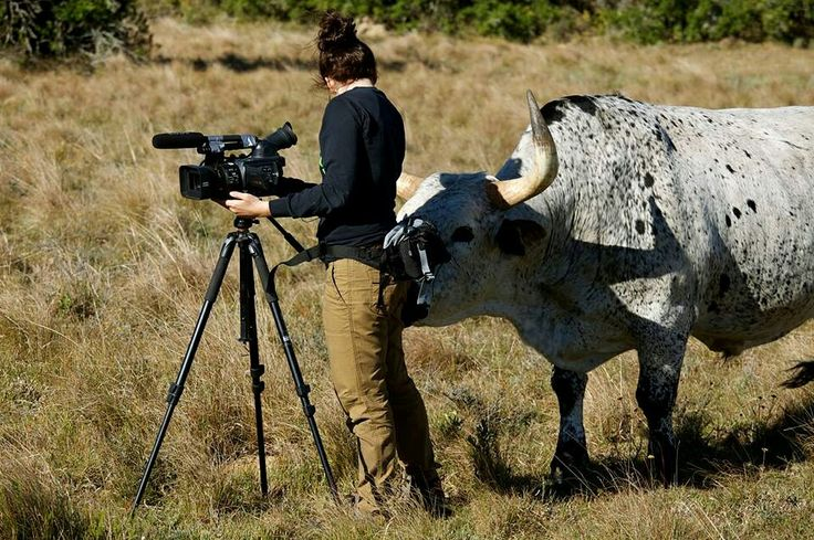 This ox doesn't seem to realise he's supposed to be in front of our wildlife film making intern's camera, not behind. Our interns meet some very charismatic animals during their time with us.