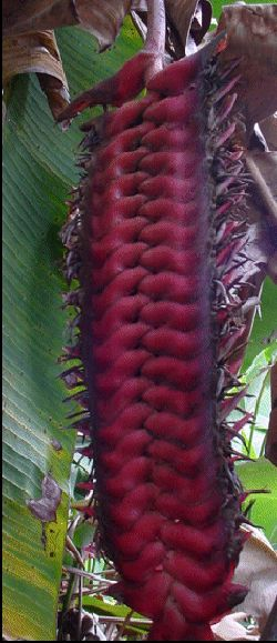 Heliconia Mariae's flower structures are BIG!
