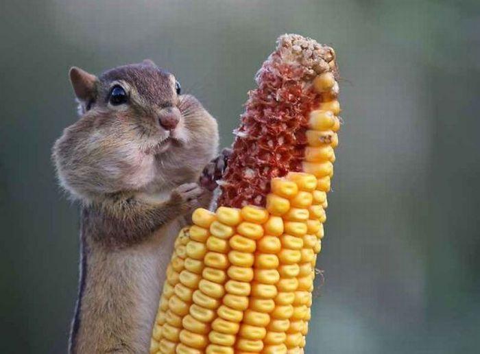 haha awww: Photos, Sweet Cheeks, Wildlife Photography, Funny Squirrels, Chipmunks, Picnics Food, Lemonade Mouths, Animal, Chubby Cheeks