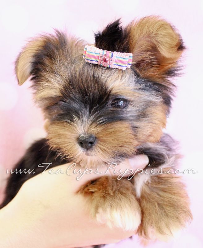 Cute Yorkshire Terrier Puppies Wallpaper   www.imgkid.com ...