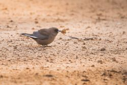 FAR-0007224 © WestPix A wood swallow catching a butterfly. Picture: Farhad Mobarra