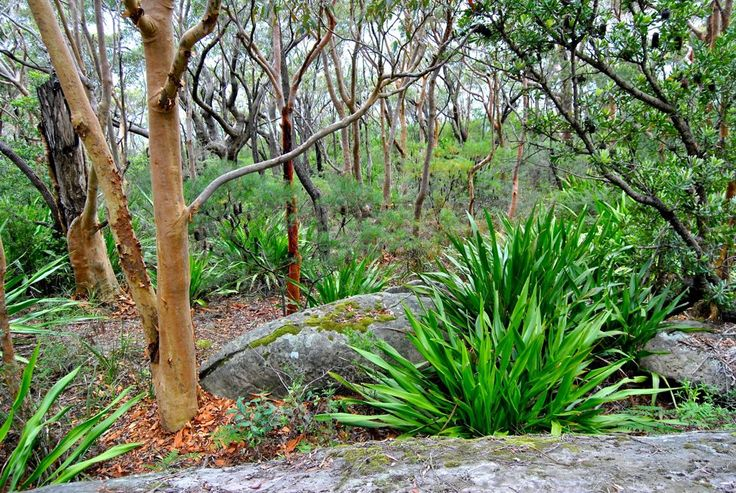 Angophora with understorey of Doryanthes Coalcliff-Scarborourgh-Wombarra-Coaldale on the escarpment track