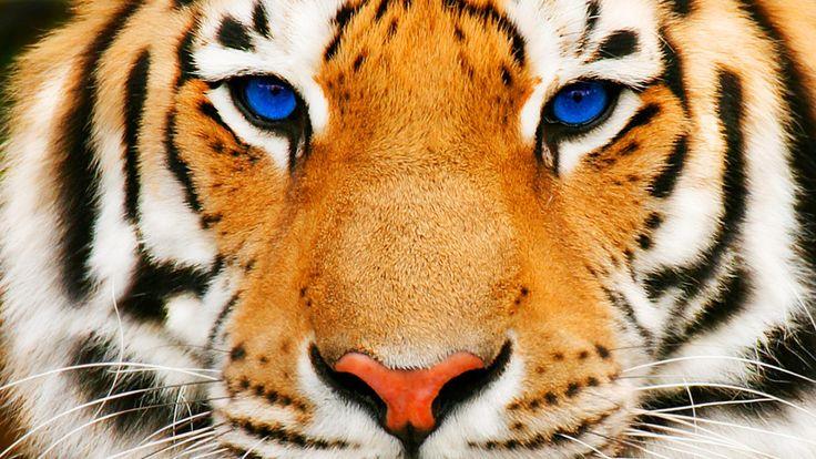 HD Blue Eyed Tiger Wallpaper   Download Free - 114366