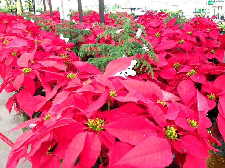 lowes garden center flowers. poinsettias at loweu0027s 1052 tomball tx garden center displayspoinsettia lowes flowers