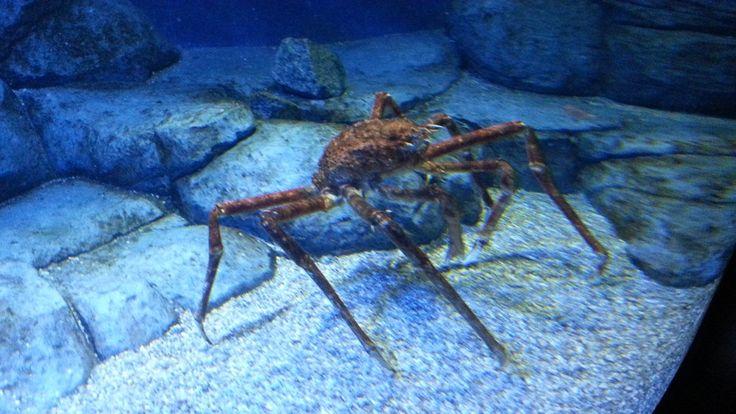 S.E.A Aquarium - Giant Spider Crab