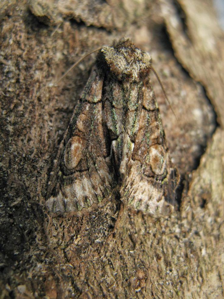 Green-brindled crescent moth