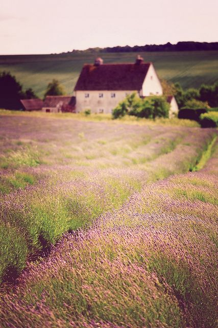 Cotswold Lavender | Flickr - Photo Sharing!