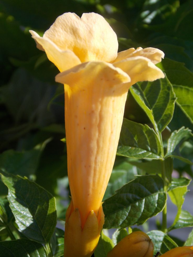 campsis radicans flava yellow trumpet vine a robust climber with attractive trumpet shaped. Black Bedroom Furniture Sets. Home Design Ideas