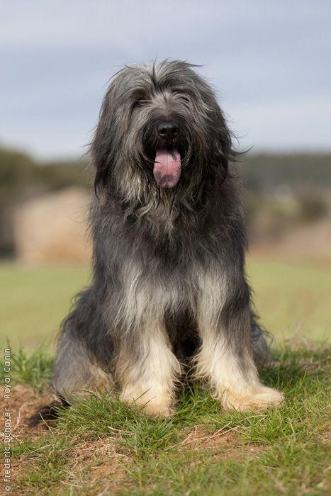 Der Katalanische Schäferhund stammt aus den katalanischen Pyrenäen und hat sich aufgrund seiner üblichen Funktionen, nämlich der Führung der Herden, in alle sonstigen katalanischen Hirtengebiete verbreitet. Er ist ein wohlgestalteter, mittelgroßer Hund mit schönem Fell. Aufgrund seiner Intelligenz und der großen Treue seinem Herrn gegenüber, kann er auch ein vorzüglicher Begleithund sein.