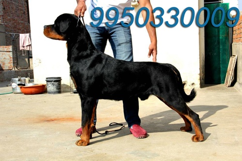 Breed - Rottweiler (M)  Sire:- Ch. Neo Crni Lotos s/o of Int. Ch Phython  Dam:- Zara D/o Ch. Symon    http://www.dogshub.in/ads/show-quality-rottweiler-puppies-for-sale/ (7 photos)