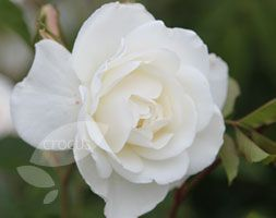 Rosa climbing iceberg..my absolute favorite white rose. OF ALL TIMES!
