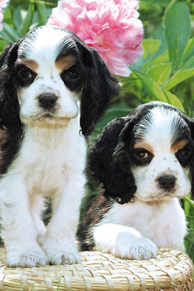 1000 ideas about spaniel puppies on pinterest spaniels - Free cocker spaniel screensavers ...