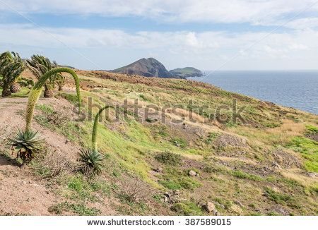 Mountain desert / plain field / meadow hill with fresh spring green grass, small palm trees, agave attenuata plants in bloom, also know as swan's neck and ocean horizon on background. Madeira Island.