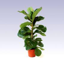 Lantlevelű fikusz, Ficus lyrata 50 cm magas 17cs