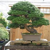 A Hinoki cypress at Brussel Martin's bonsai nursery in Mississippi. He has nurtured it for 40 years, which is half its life