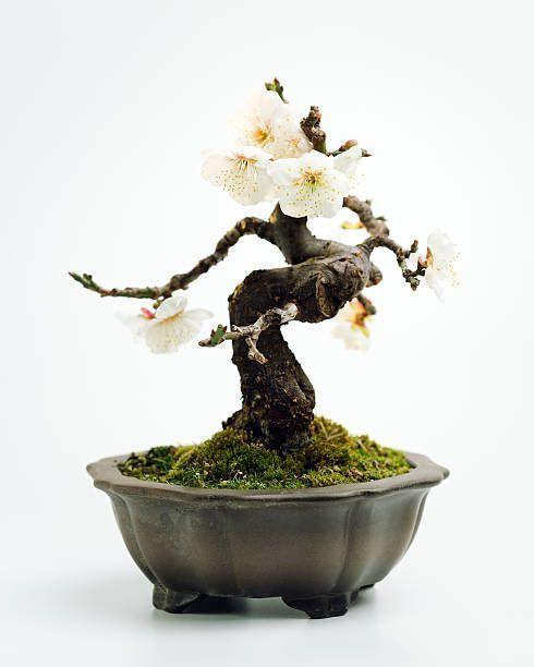 Prunus mume bonsai #bonsaitrees