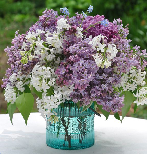 Bridal Bouquet Plant Pruning : Best peonies lilacs images on