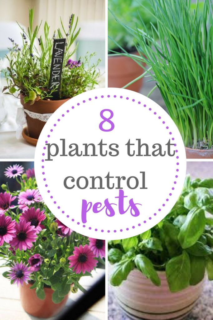 Plants that control garden pests like aphids, mosquitos, spider mites, and more. Read on for more natural pest control ideas!