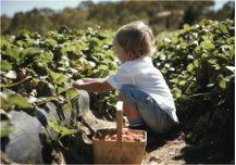 Strawberry picking at Beerenberg Farm