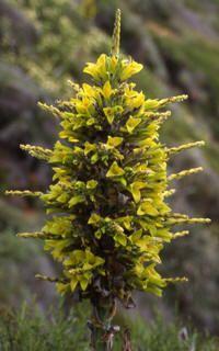 Flor del chagual