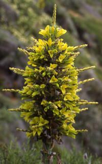 Puya chilensis [Family: Bromeliaceae] - Endemic to Chile