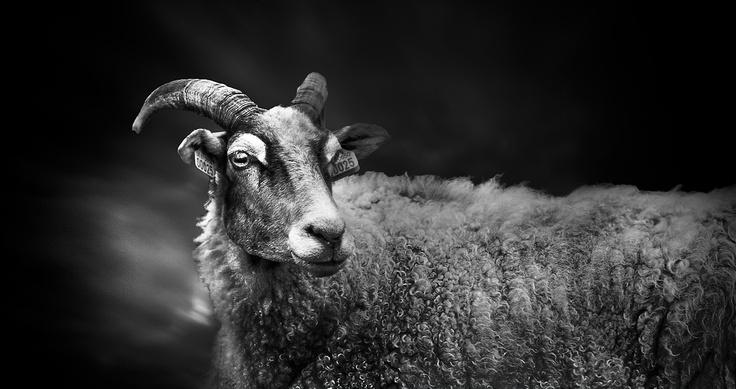 black-and-white-ram