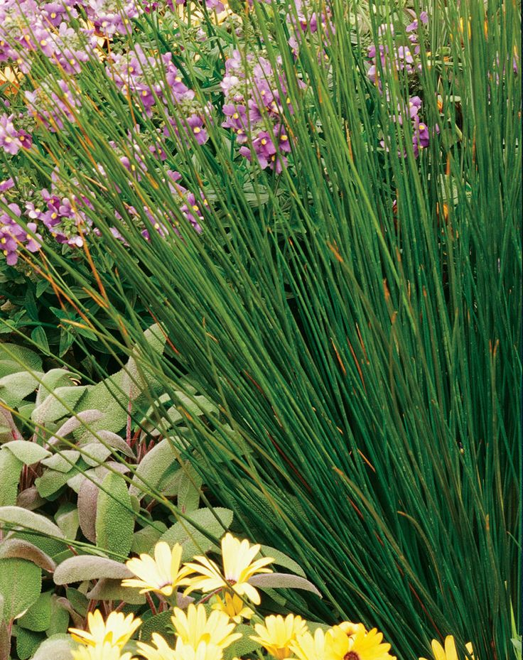 Soft rush juncus effuses prisa suave purchased 3 plants for Ornamental grass plants