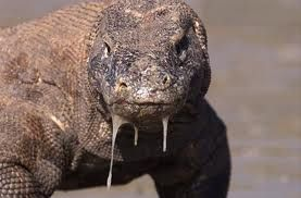 This is a picture of a komodo dragon. These creatures are fierce carnivores. Did you know that a komodo dragon's saliva has a poison that prevents blood clotting? This is the reason why animals bleed to death after an attack. Find more fun facts about komodo dragons here: http://easyscienceforkids.com/all-about-the-komodo-dragon/