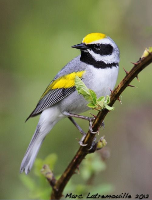 GOLDEN-WINGED WARBLER - Vermivora chrysoptera . . . SE Canada, Appalachian Mountains of NE USA